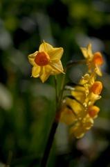花園の黄支子色…