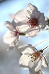 古都の薄桜色…4