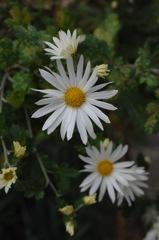 冬到来の雪色花…