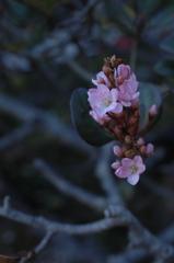 冬到来の淡桃色…
