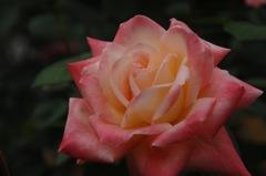 古都の秋バラ…7