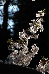古都の薄桜色…8