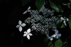 源氏山の梅雨花…2