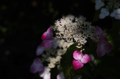 木陰の七色花…2