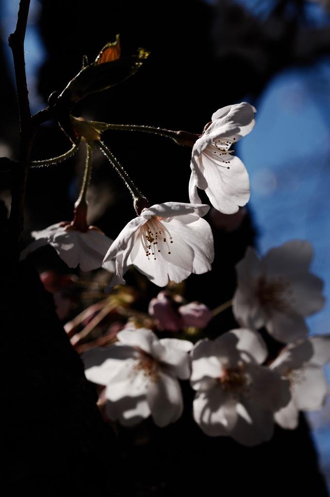 古刹の胴吹き桜…