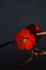早咲きの深緋色…