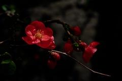 春庭の緋色花…