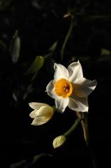 瑞泉寺の白小花…1
