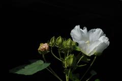 三姿の白弁…