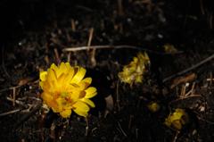 春萌の黄花…