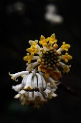 如月の淑花…2