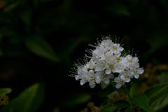 古都の白小花…
