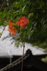 古都に咲く凌霄花…1