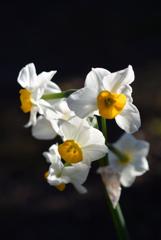 新春の白弁…1