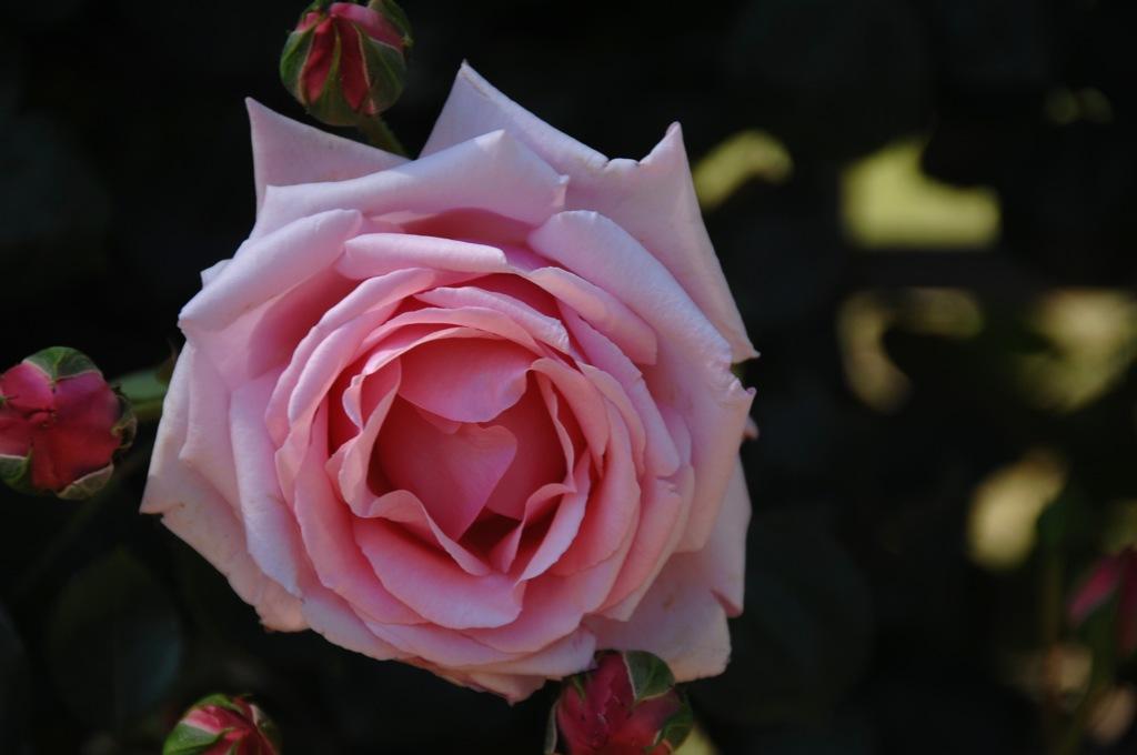 春光に映える薔薇…11
