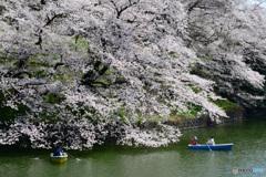 千鳥ヶ淵の桜②