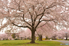 Big cherry blossoms