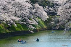 千鳥ヶ淵の桜⑤