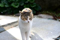 三毛猫Lady