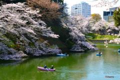 千鳥ヶ淵の桜③