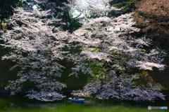 千鳥ヶ淵の桜④
