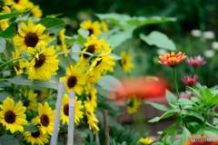 シロタエヒマワリと赤い花