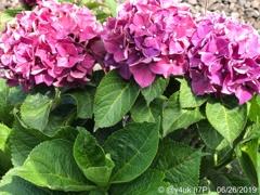 梅雨の晴れ間4ヶ所へ旅Go!紫陽花発見!葉と2トーン(57mm側:iPhone)