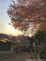 Sunset Cherryblossom 夕陽と桜〜逆光〜みんなiPhoneで!