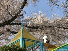 桜満開に今年もお花見してた大好きパンダ(^o^)〜57mm側i7Plus