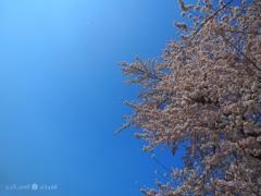 桜満開、舞う花びら+青空オリンパスブルー[E-M10II+F2.8PRO]