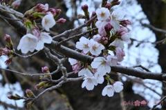3.28平成最後の桜と木〜七分咲き花曇り花冷え蕾〜長年観る一途な恋(335mm)