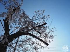 剪定されていた桜とOLYMPUS BlueSky〜哀しい現実…でも満開