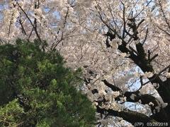 Cherry Blossom & Green 〜緑と桜と青空