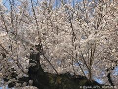 桜満開の巨木と青空〜2018.3.28〜2012年も同日早い満開