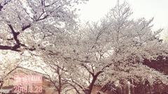 咲き誇る桜満開〜好きな小さな場所で今年もモリモリ咲いた!