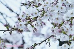 3.28平成最後のCool桜〜七分咲き寒い中、長年飽きず一途に好き(750mm)