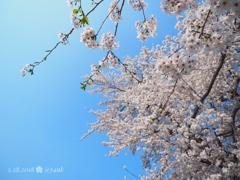 優しい桜満開と青空(オリンパスブルー)[E-M10II+1240F2.8PRO]