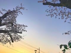 Sunset Magichour Cherryblossom 〜哀しい現実、桜