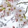 """28旅先その2.毎年恒例2019""""平成最後""""の桜*花曇り*六分咲き(180mm)"""