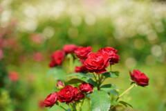 薔薇 ラバグルート