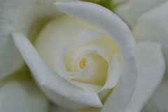 薔薇 ヨハネパウロ2世