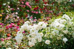 薔薇 フレンチレース