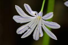 アガパンサス 11枚花弁