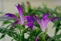 朝顔 江戸紫采咲