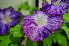 朝顔 黄斑入蝉葉 紫吹掛絞丸咲大輪