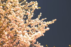 夜桜 星と