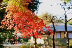 紅葉 くらしの植物苑