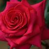 薔薇 ショーガール