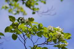 花水木 1