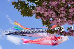 鯉のぼりと里桜